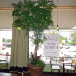 Commercial Ming Aralia @Camille's
